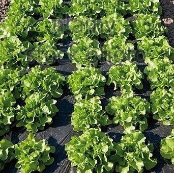 Antioxidant Uv Stabilizer Additive For Mulch Film Baoxuchem